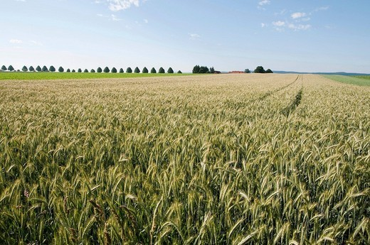 Wheat field, Solling_Vogler Nature Park, Weserbergland, Lower Saxony, Germany, Europe : Stock Photo