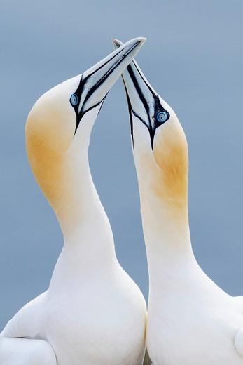 Northern Gannets Morus bassanus, Sula bassana, courtship display : Stock Photo