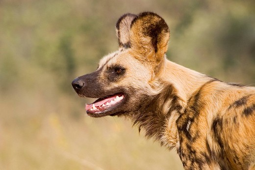 African wilddog Lycaon pictus, Namibia, Africa : Stock Photo