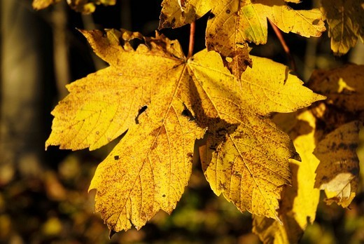 Golden, autumnal maple leaves, acer pseudoplantnum L  Aceraceae : Stock Photo