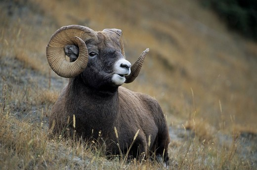 Bighorn Sheep Ram, American Bighorn, Mountain Sheep Ovis canadensis, portrait of male : Stock Photo