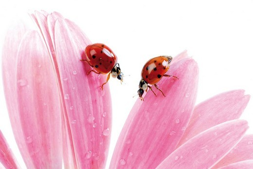 Ladybugs or Ladybirds Coccinellidae on Gerber Daisy petals : Stock Photo