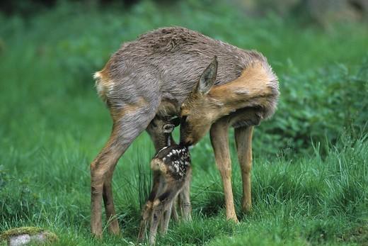 European Roe Deer Capreolus capreolus nursing young, fawn : Stock Photo
