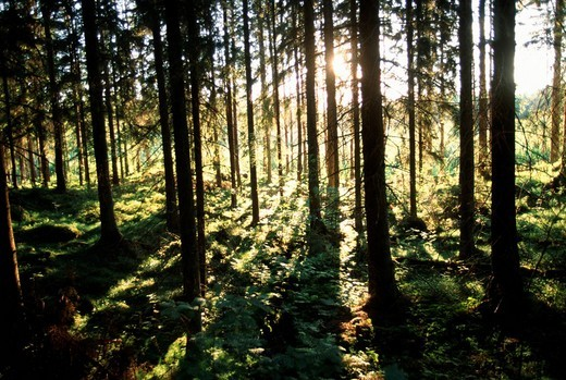 Sunrayes shining through coniferous forest, Sweden : Stock Photo