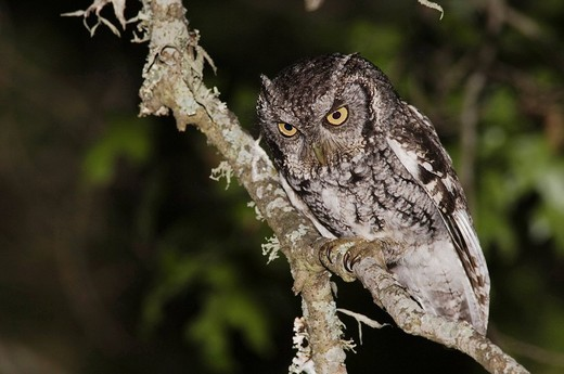 Eastern Screech_Owl Megascops asio Otus asio, adult at night in Texas Oak Quercus buckleyi, Uvalde County, Hill Country, Texas, USA : Stock Photo