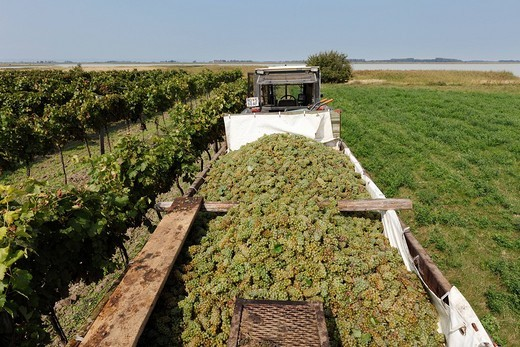 Stock Photo: 1848R-383149 Vintage, white grapes, Seewinkel, Burgenland, Austria, Europe