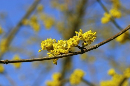 Stock Photo: 1848R-383241 Cornelian Cherry Cornus mas blossoms