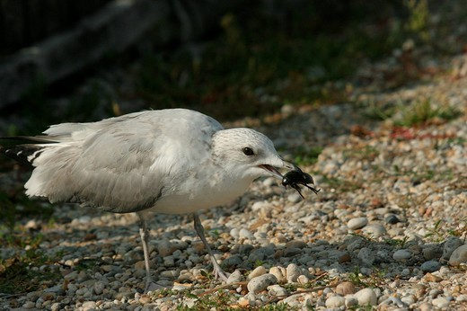Common- or Mew Gull Larus canus, summer plumage, with Giant Water Beetle Hydrous piceus as prey : Stock Photo