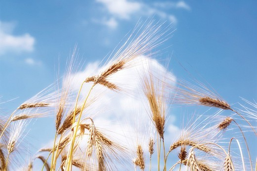 Barley Hordeum vulgare stalks : Stock Photo