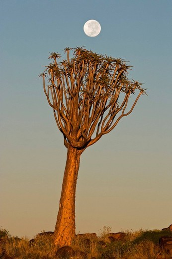 Full moon over a Quiver Tree or Kokerboom Aloe dichotoma at twilight, Garaspark, Keetmanshoop, Namibia, Africa : Stock Photo