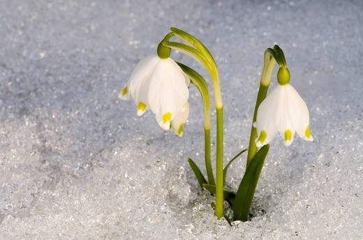 Spring Snowflake Leucojum vernum, Schwaz, Tyrol, Austria, Europe : Stock Photo