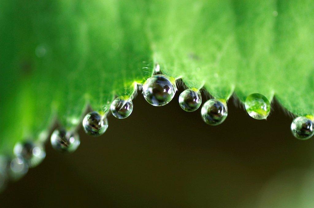 Dew drops on lady´s mantle leave Alchemilla mollis : Stock Photo