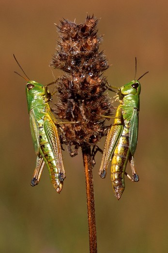 Meadow Grasshopper Chorthippus parallelus, Tirol, Austria : Stock Photo
