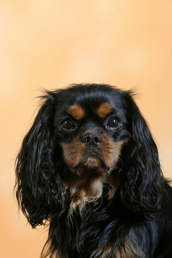 Cavalier King Charles Spaniel, black and tan : Stock Photo