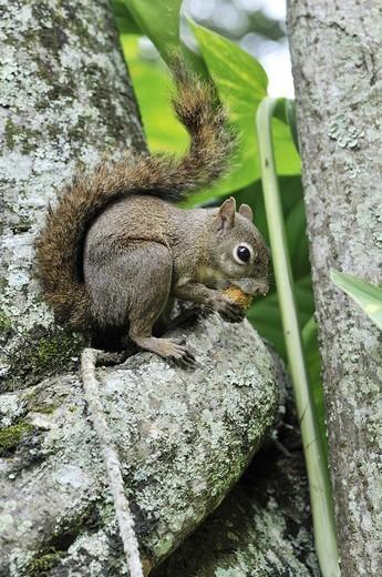 Squirrel Sciurus vulgaris, with nut : Stock Photo
