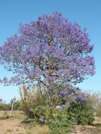 Stock Photo: 1848R-385128 Jacaranda Jacaranda mimosifolia with blue flowers Gran Chaco, Paraguay