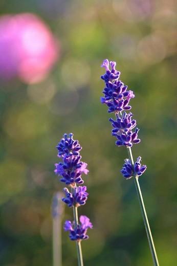 Stock Photo: 1848R-385204 Lavender, lavandula angustifolia