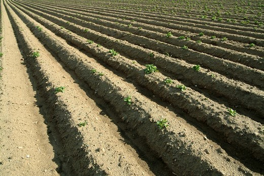 Stock Photo: 1848R-385353 Potato growing