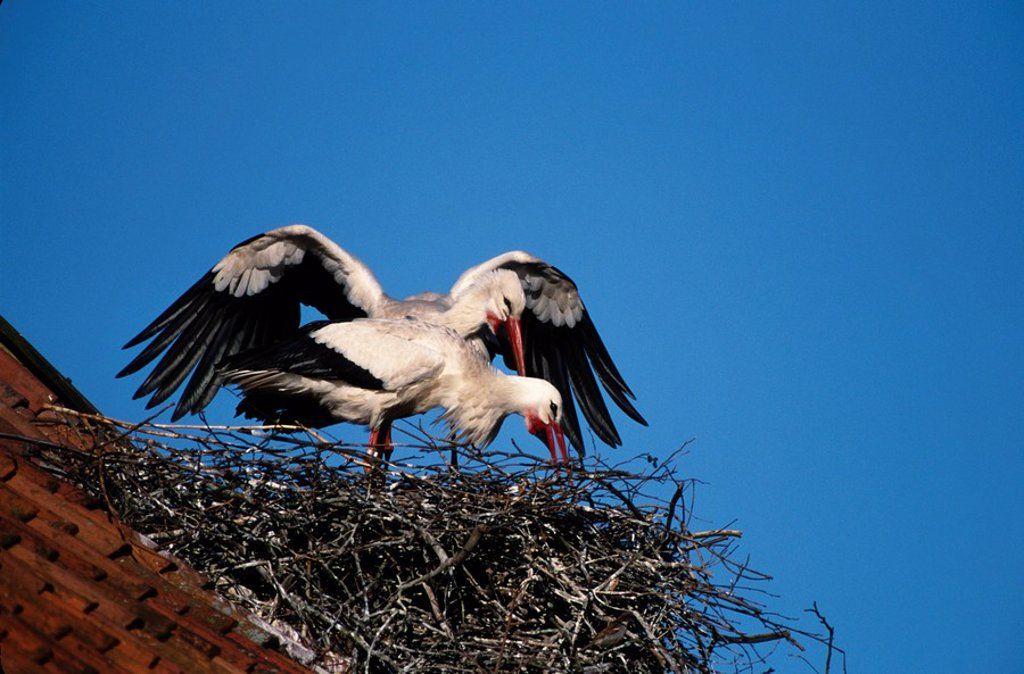 White Stork Ciconia ciconia nesting on salina, Rheine, Germany : Stock Photo
