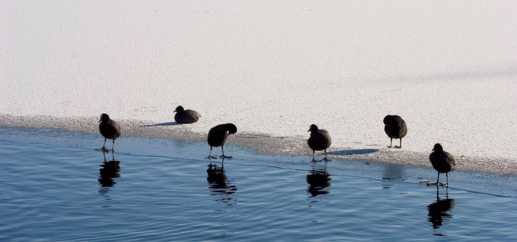Coots on a frozen lake, resting at the ice-edge : Stock Photo