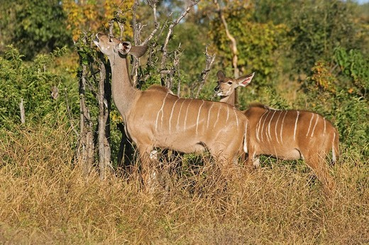 Stock Photo: 1848R-385854 Greater Kudu Tragelaphus strepsiceros, Chobe River National Park, Botswana, Africa