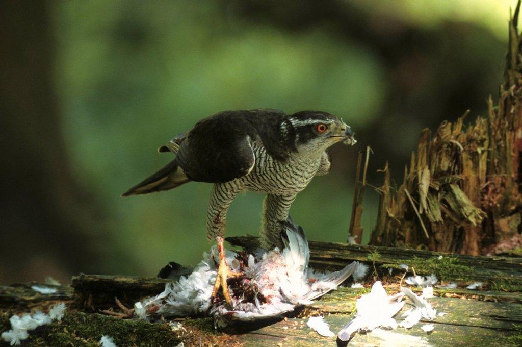 Northern goshawk Accipiter gentilis, male with captured pigeon : Stock Photo