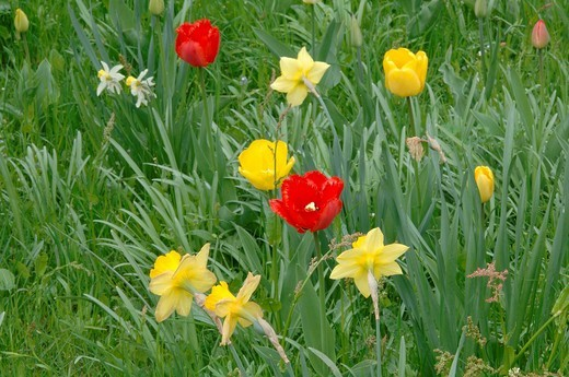 Stock Photo: 1848R-386791 Tulips Tulipa sp  and Daffodils Narcissus sp  growing in a meadow, North Tirol, Austria, Europe
