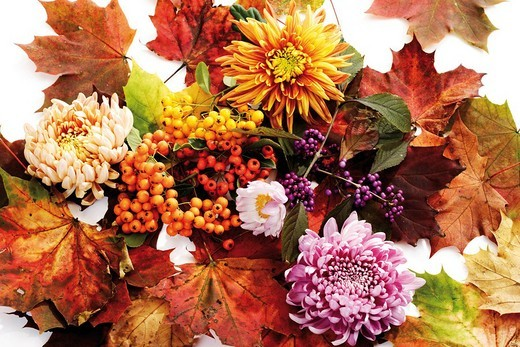 Stock Photo: 1848R-386857 Firethorn berries, beautyberries and chrysanthemums with colourful autumn leaves