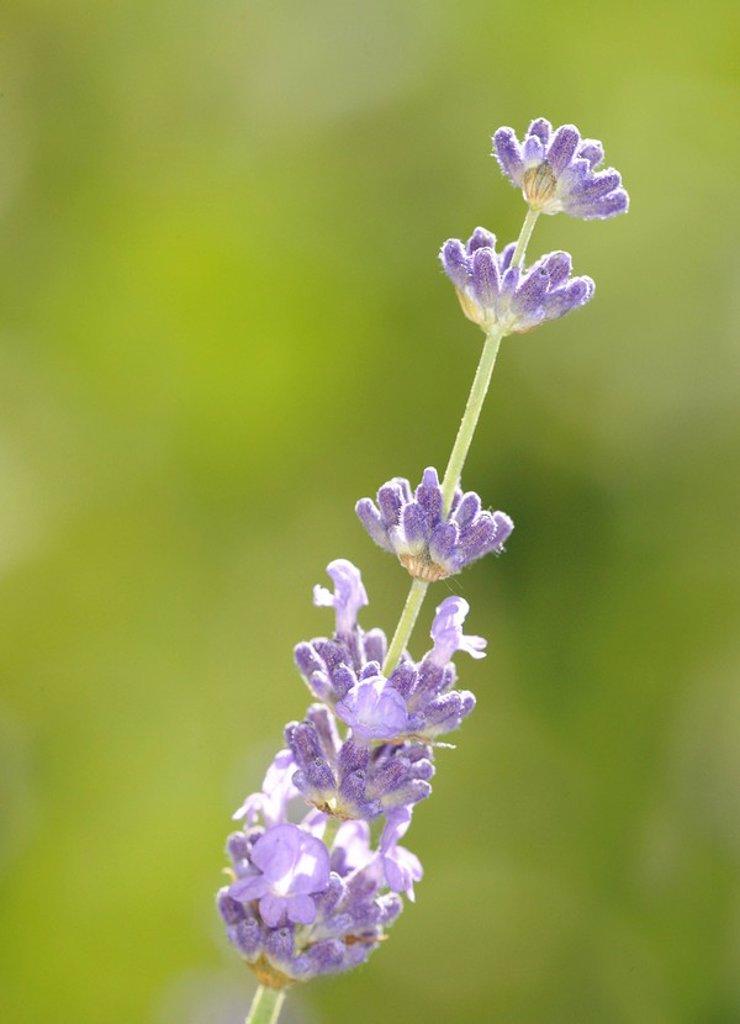 Stock Photo: 1848R-386963 Lavender Lavandula angustifolia