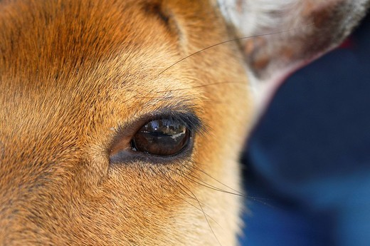 Deer eye : Stock Photo