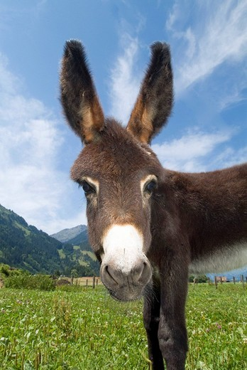 Donkey Equus asinus asinus in a mountain meadow : Stock Photo