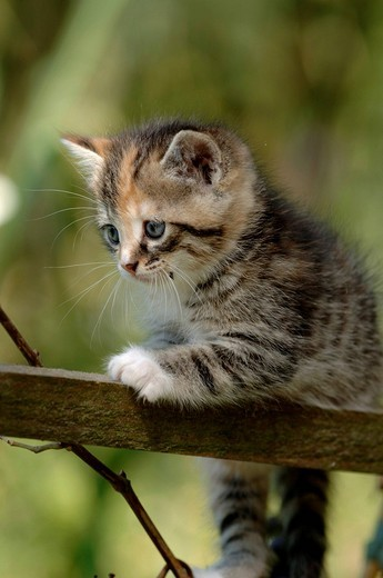 Stock Photo: 1848R-387934 11-week-old kitten Felis catus climbing in a garden