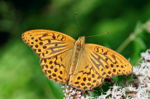 Silver-Washed Fritillary Argynnis paphia, male : Stock Photo