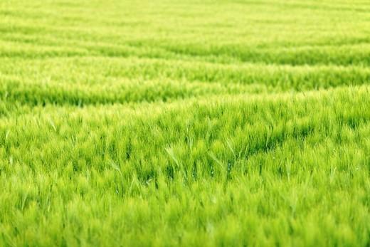 Stock Photo: 1848R-388329 Barley field