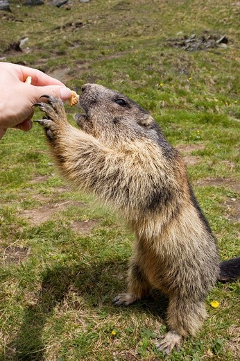Stock Photo: 1848R-388644 Alpine marmot Marmota marmota, standing on the hind paws, feeding, Hohe Tauern National Park, Austria