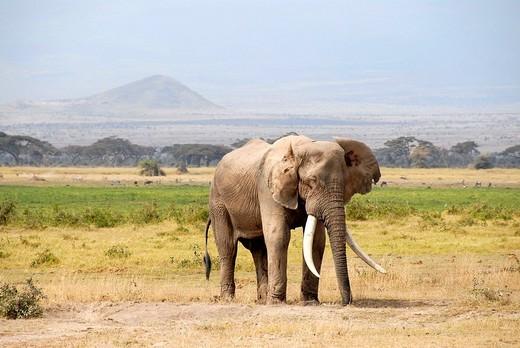 Big elephant with large tusks Amboseli National Park Kenya : Stock Photo