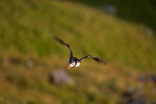 Stock Photo: 1848R-388901 Atlantic Puffin Fratercula arctica coming in for a landing, Runde Island, Norway, Scandinavia, Europe