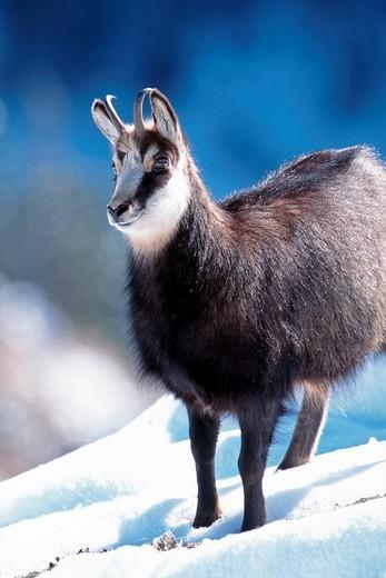 Chamois Rupicapra rupicapra, Kelberg, Karwendel Range, Tyrol, Austria, Europe : Stock Photo