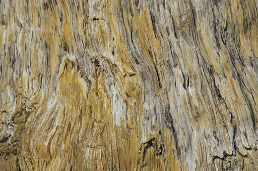 Stock Photo: 1848R-389275 Petrified trunk of a Swamp Cypress Taxodium spec., macro, originally from Borna Brown Coal Museum near Leipzig, Klein Flottbek Botanical Garden, Hamburg, Europe