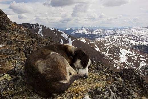 Stock Photo: 1848R-389384 Resting sled dog, curled up, Alaskan Husky, Mt. Lorne, Mountains, Pacific Coast Ranges behind, Yukon Territory, Canada, North America