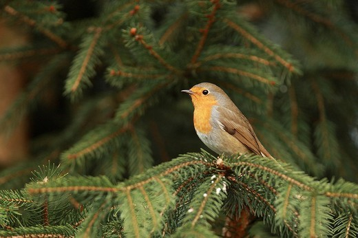 Stock Photo: 1848R-389942 European Robin Erithacus rubecula
