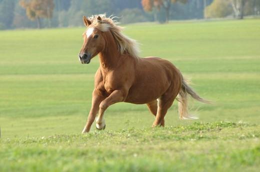 Haflinger stallion running across a meadow, Germany, Europe : Stock Photo