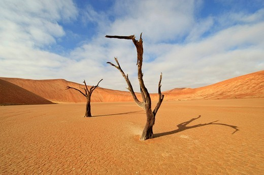 Stock Photo: 1848R-390271 Dead Camel Thorn Tree Acacia erioloba at the Dead Vlei in the Namib Desert, Namibia, Africa