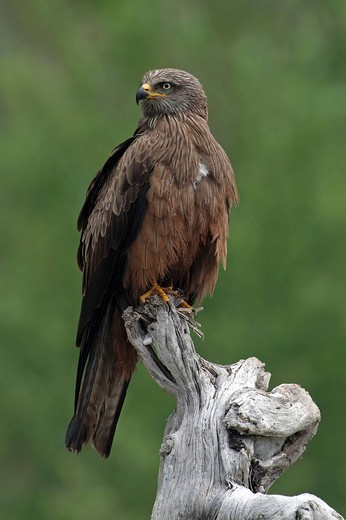 Black Kite Milvus migrans, Tratzberg, Stans, Tyrol, Austria, Europe : Stock Photo