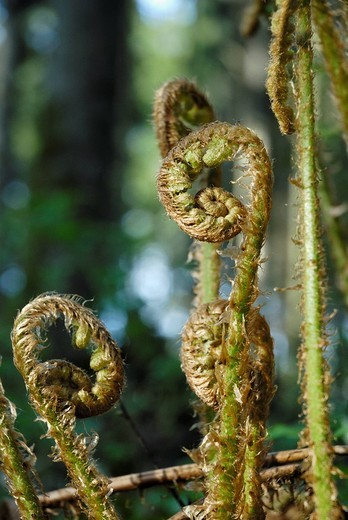 Recently sprouted Male Fern leaves Dryopteris filix-mas : Stock Photo