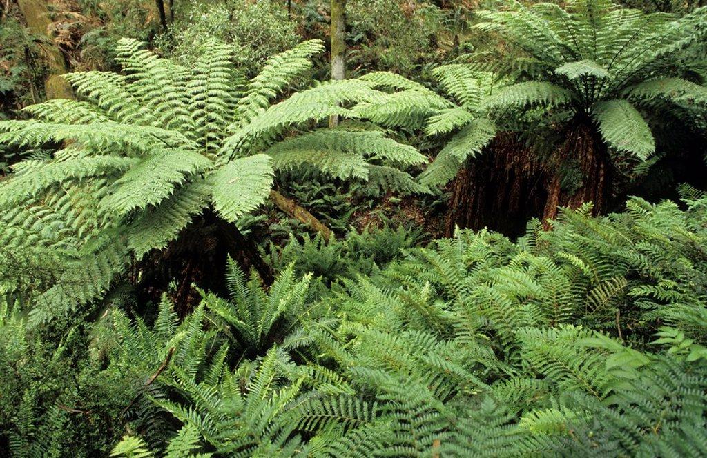 Temperate rainforest, Otway National Park, Great Ocean Road, Victoria, Australia : Stock Photo