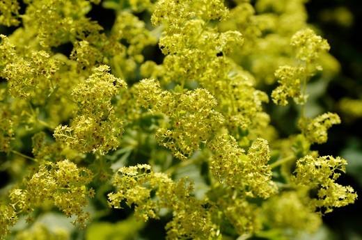 Lady´s Mantle Alchemilla mollis flowers : Stock Photo