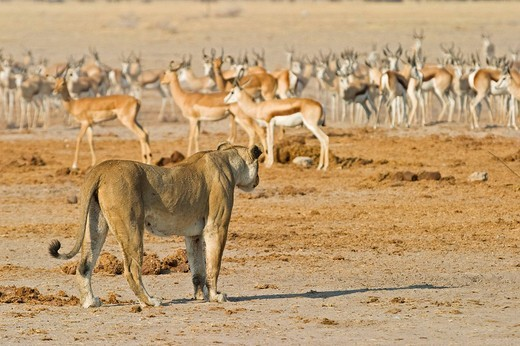 Stock Photo: 1848R-392197 Lioness Panthera leo hunting for a Springbok Antidorcas marsupialis, Nxai Pan, Makgadikgadi Pans National Park, Botswana, Africa