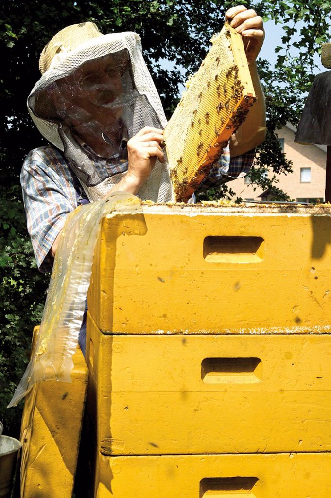 Beekeeper wearing protective clothing holding a honeycomb over a bee hive : Stock Photo