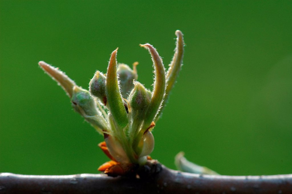 Pear tree buds Pyrus communis : Stock Photo